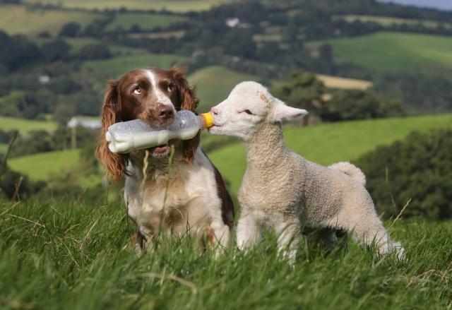 dog-feeding-baby-lamb